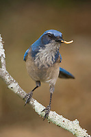 Western Scrub-Jay,  Aphelocoma californica, adult with worm prey, Uvalde County, Hill Country, Texas, USA, April 2006