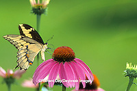 03017-00209 Giant Swallowtail (Papilio cresphontes) on Purple Coneflower (Echinacea purpurea)   Marion Co.   IL