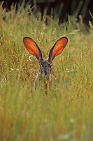 Black-tailed jackrabbit (Lepus californicus)--the blood through the ears help the jackrabbit regulate its body temperature.