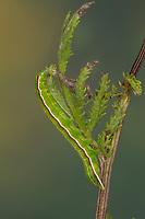 Rosagraue Beifußeule, Rosagraue Beifusseule, Rosagraue Beifuß-Eule, Rosagraue Beifuss-Eule, Raupe frisst an Rainfarn, Eucarta virgo, Silvery Gem, caterpillar, Eulenfalter, Noctuidae, noctuid moths, noctuid moth