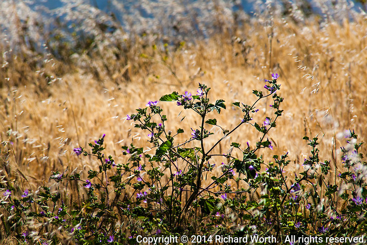 Purple wildflowers against a yellow-grass background.