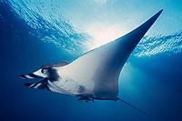 oceanic manta ray, Manta birostris, San Benedicto, Revillagigedos ( Socorro ) Islands, Mexico ( E. Pacific )