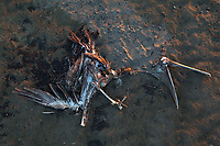 Carcass of a dead Brown Pelican on Whiskey Island. The long term effects of the BP oil spill on wildlife are yet to be understood. Terrebonne Parish, Louisiana.