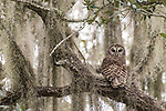 Brazoria County, Damon, Texas; an adult Barred Owl perched on a branch of a large, live oak tree, surrounded by spanish moss, with indirect early morning light