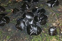 Gemeiner Schmutzbecherling, Schmutz-Becherling, Schwarzer Schmutzbecher, Bulgaria inquinans, black bulgar, La bulgarie salissante, bulgarie noire