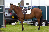 Cleveland bay cross thoroughbred horse tacked up ready for eventing , Oxfordshire, United Kingdom