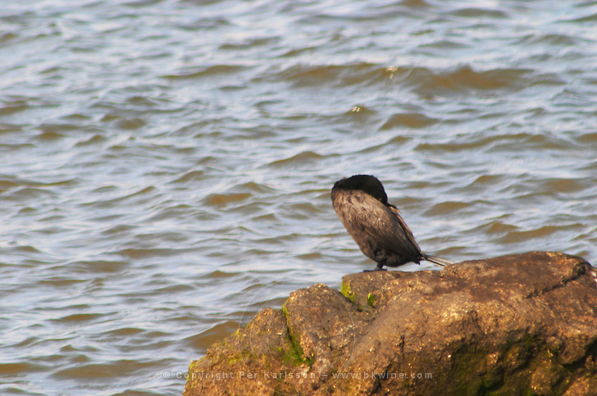 A black seagull XXX perched sitting on a rock against the water., on the riverside seaside walk along the river Rio de la Plata Ramblas Sur, Gran Bretagna and Republica Argentina Montevideo, Uruguay, South America