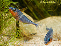 1S17-633z Male Threespine Sticklebacks defending territories, Mating colors showing bright red belly and blue eyes,  Gasterosteus aculeatus,  Hotel Lake British Columbia