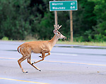 A white-tailed deer bolts across the road defying the odds of being struck by a vehicle.