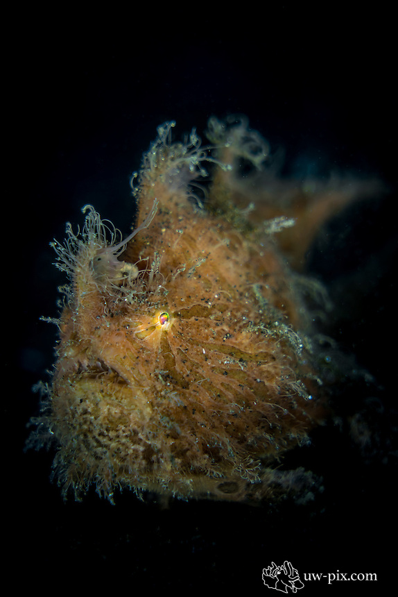 Hairy Frogfish (Antennarius striatus) in the Lembeh Strait / Indonesia