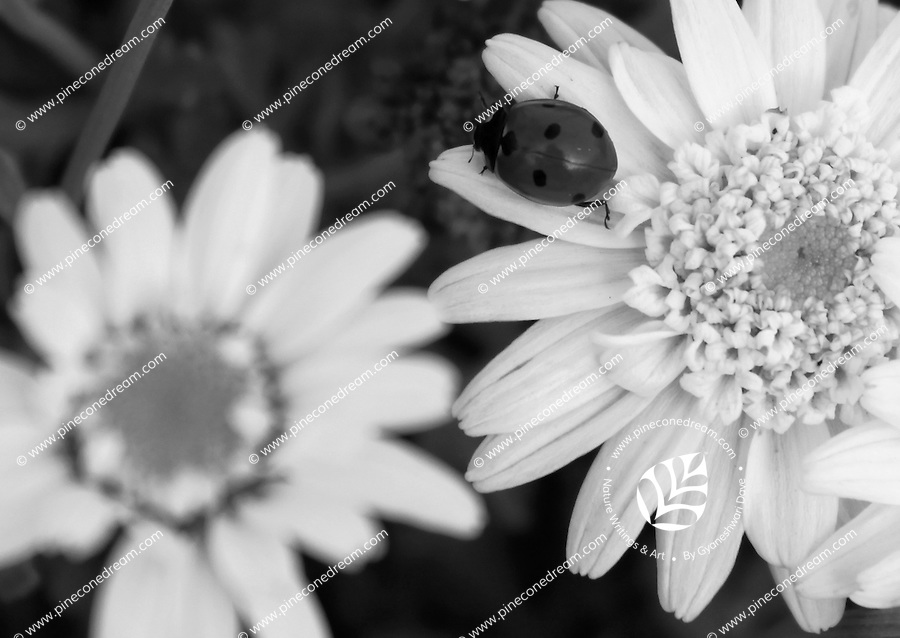 Black & white stock photo of cute ladybug sitting on petals of white daisy flower.<br />