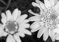 Black &amp; white stock photo of cute ladybug sitting on petals of white daisy flower.<br />