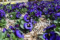 Flowers bloom Wednesday March 18, 2020 at the Botanical Garden of the Ozarks in Fayetteville. (NWA Democrat-Gazette/J.T. Wampler)