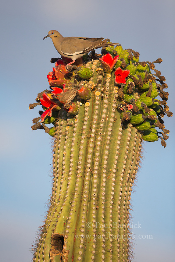 A White-Winged Dove prepares to eat the fruit of a Saquaro Cactus.