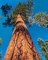 Mature Ponderosa Pine tree (Pinus ponderosa).  Western U.S.