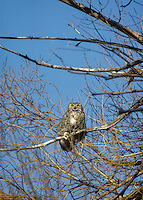 Great Horned Owl (Bubo virginianus) perched in cottonwood tree. Southern Oregon.  Feb-March.