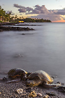 At sunset, two Hawaiian green sea turtles (or honu) sleep on the beach for the night in Puako, Big Island.