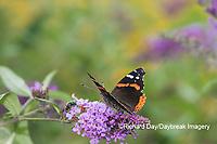 03408-00712 Red Admiral (Vanessa atalanta) on Butterfly Bush (Buddleja davidii) Marion Co. IL
