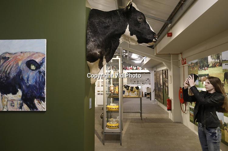 Foto: VidiPhoto<br /> <br /> BARNEVELD – Terwijl de eerste gasten dinsdag het vernieuwde Pluimveemuseum in Barneveld bezoeken, zetten vrijwilligers nog even de laatste puntjes op de i. Voor het eerst sinds het bestaan van het internationaal bekende kippenmuseum op de Veluwe zijn er nu ook andere dieren te zien. Om te beginnen koeien, waaronder de wereldberoemde opgezette stier Sunny Boy, met 2 miljoen doses sperma de meest gebruikte stier ter wereld. Of Kian, de meeste gebruikte roodbonte stier ter wereld (1,4 miljoen doses). Later volgen de andere boerderijdieren, afkomstig van het vorige maand opgeheven Veeteeltmuseum in het Brabantse Beers. Voorlopig is nog maar een klein deel het Veeteeltmuseum te zien in de tentoonstellingsruimte van het Pluimveemuseum. De rest staat opgeslagen in vrachtwagens en volgt zodra de Barneveldse fusiepartner geld en vergunning heeft om uit te breiden. De kosten van de verbouwing worden geraamd op 1,4 miljoen euro. De nieuwe naam wordt vermoedelijk Pluimvee en Veeteelt Museum, maar daar moet door besturen en vrijwilligers nog even over gestoeid worden.