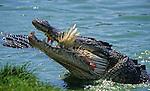 Saltwater crocodiles, crocodile d'estuaire (crocodylus porosus).Australie. Territoire du Nord. crocodiles