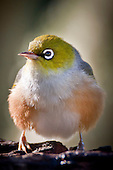 A Silvereye fluffs up its feathers in an aggressive  display..Silvereye's (Zosterops lateralis) also known as Wax eye's or White eyes are a small passerine that is native to New Zealand and Australia and can be found in most settled habitat. They feed on insects, nectar, fruit and berries and are more noticeable in flocks during the winter months. They are easily attracted to feeding stations where sugar water and fruit are available and can be quite aggressive towards each other with displays of wing fluttering and beak clattering. Their origin in New Zealand isn't clear as they were only first observed here in 1832 and could have been swept eastward from Australia by storm or possibily followed a ship across the Tasman Sea. Their Maori name Tauhou (Little Stranger) reflects their recent arrival.