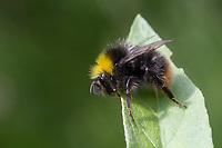 Wiesenhummel, Wiesen-Hummel, Hummel, Bombus pratorum, Pyrobombus pratorum, early bumble bee, early bumblebee, early-nesting bumblebee, le bourdon des prés
