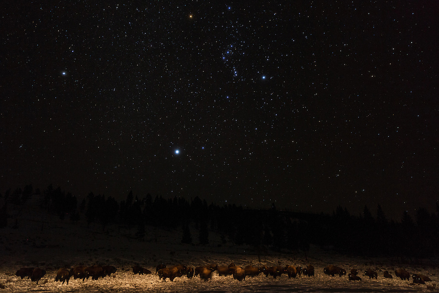 A herd of bison are lit with an incandescent flashlight after dark with the stars shining overhead in Yellowstone National Park, Wyoming.