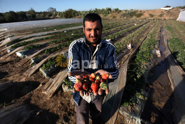 A Palestinian farmer displays damaged strawberries at his field in Beit Lahia, in the northern Gaza Strip, December 16, 2013. Gaza's agricultural sector suffered devastating losses during four days of severe weather conditions in the coastal territory, Gaza officials said Monday. Photo by Ashraf Amra