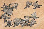 Loggerhead turtle hatchlings, Caretta caretta, moving from nest to sea at night, Banga Nek, Kwazulu Natal, South Africa