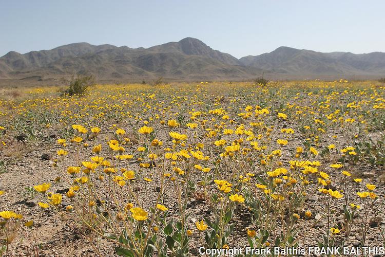Desert marigolds in pinto basin, Joshua Tree National Park
