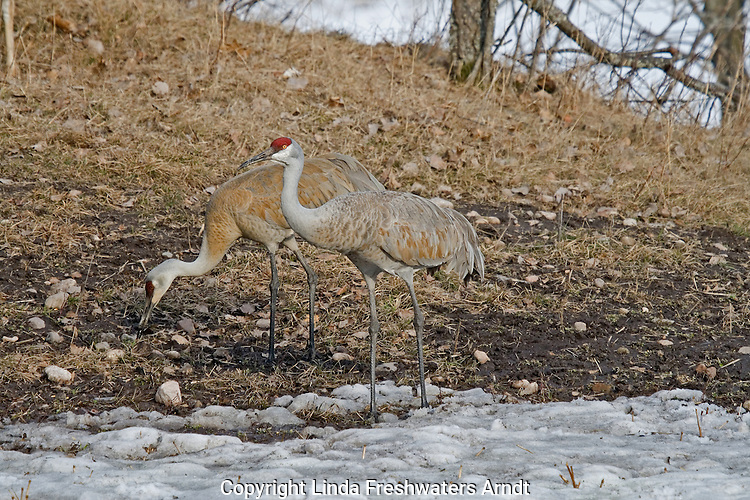 Sandhill Crane - Adults feeding