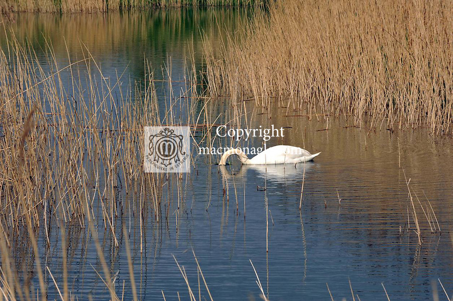 A swan feeds among the reeds at the Tralee Wetlands centre which opened to the public at the weekend..Picture by Don MacMonagle