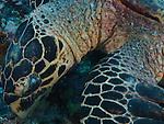 Blue Corner, Palau -- Sea turtle foraging for food.