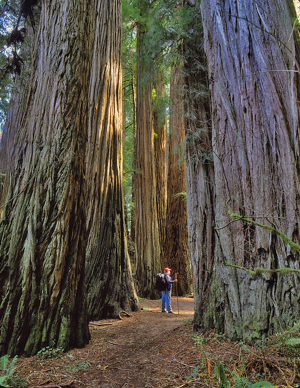 Hiker on path between redwood trees. Redwood National Park, California