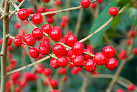 Ilex verticillata 'Berry Heavy' berries holly