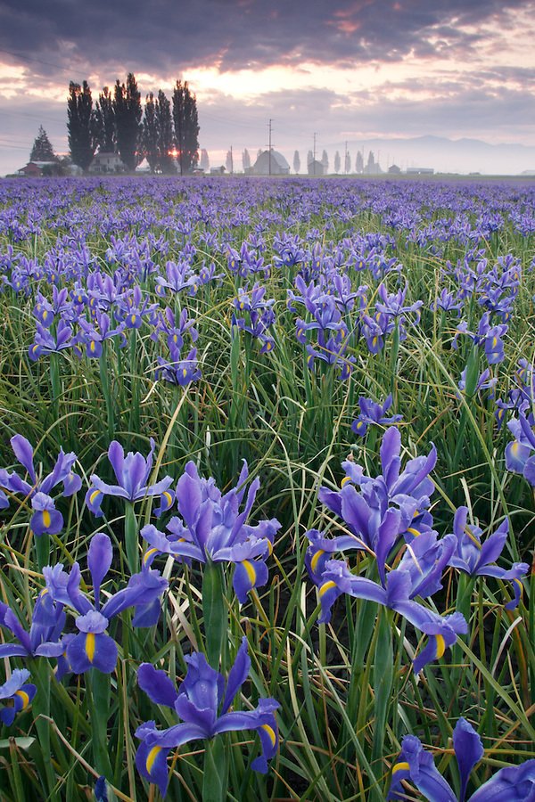 Field of blue iris on foggy morning, Mount Vernon, Skagit Valley, Skagit County, Washington, USA
