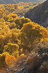 Cottonwood trees (Populus fremontii) line the Hassyampa River bed at the Hassyampa Nature Preserve near Wickenburg
