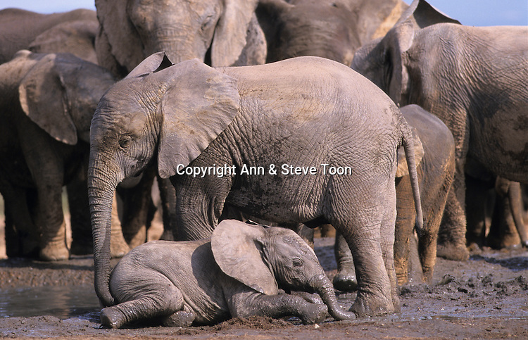 Elephant calves, Loxodonta africana, mudbathing, Addo national park, South Africa
