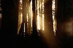 Sitka spruce forest, Olympic National Park, Washington
