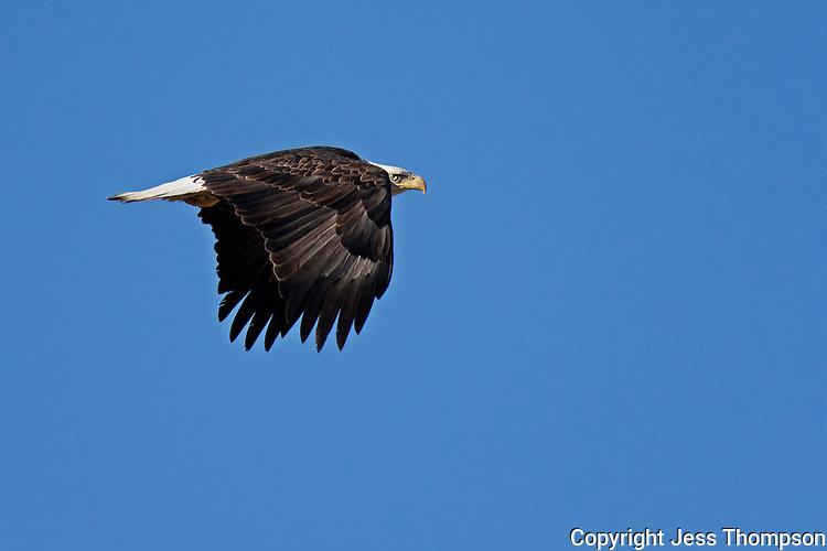 Bald Eagle, Bosque del Apache NWR