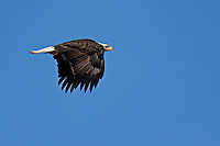 Bald Eagle, Bosque del Apache NWR