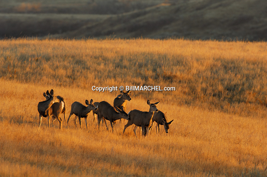 00270-002.02 Mule Deer (DIGITAL) Nine does and fawns are lit by low sun while on rolling prairie.  H1F1