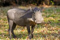 warthog, Phacochoerus aethiopicus, South Africa