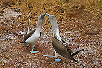 A male and female with beaks touching preforming a courting dance against the red sands of Rabida Island.