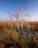 Sunrise light on Dwarf Cypress trees; Everglades National Park, FL