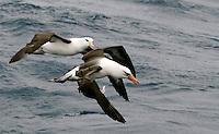 Mid-Air Fight between Impavida and Melanophrys Black-browed Albatrosses, Campbell Island