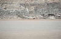 Mountain goat, Road to Jasper from Lake Louise. Rockies, Alberta, Canada.