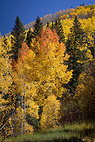 Aspen trees changing color in the fall in Colorado.