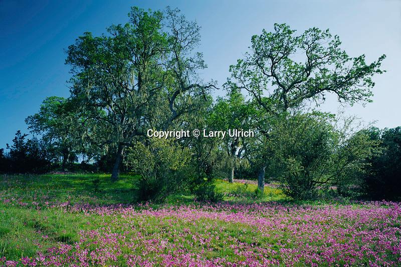 Padres shooting star and blue oaks<br /> Gabilan Range<br /> Pinnacles National Monument<br /> San Benito County,  California