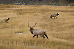 A bull elk protects his coww and calf during rut season in Yellowstone National Park.